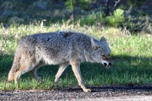 Coyote Growling