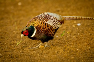 Nonresident pheasant hunters bring 185 million to south for South dakota out of state fishing license
