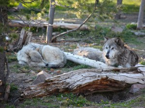 Wyoming Wolf Hunt