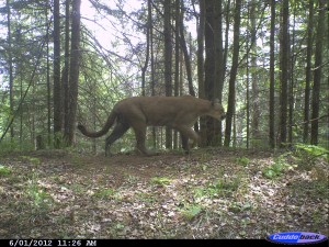 Michigan Mountain Lion