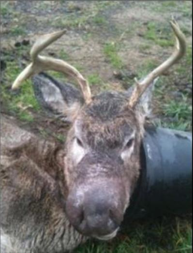 big nosed buck