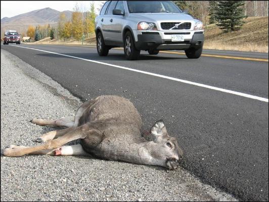 deer on roadside