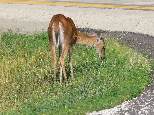 deer feeding on roadway