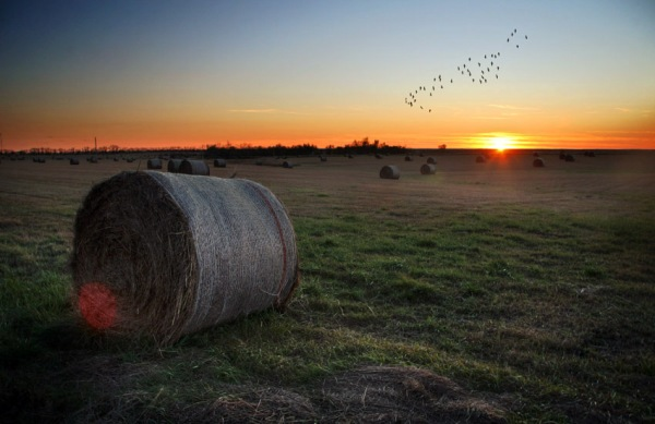 farm ground with geese flying at sunset