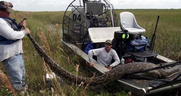 16-Foot Florida Python Eats Deer