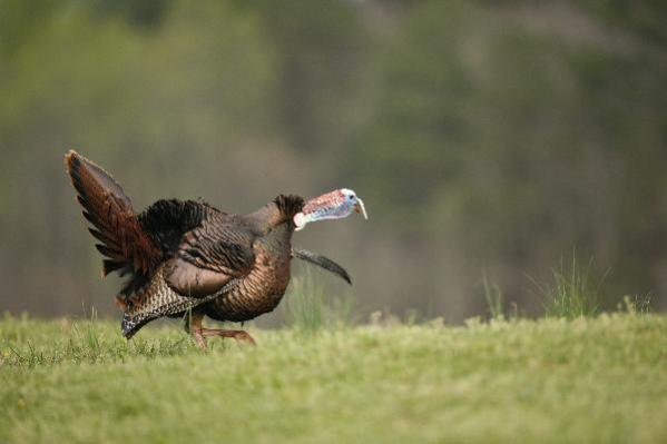 turkey gobblin on grass