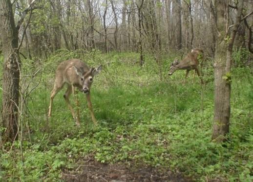 pair of velvet bucks