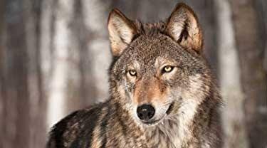 Wolf Ruling Defies Biology