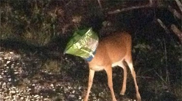 Deer Found With Bag Of Chips On Its Head