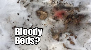 Finding Blood in Deer Beds?