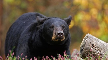 Bowhunting Spring Black Bear